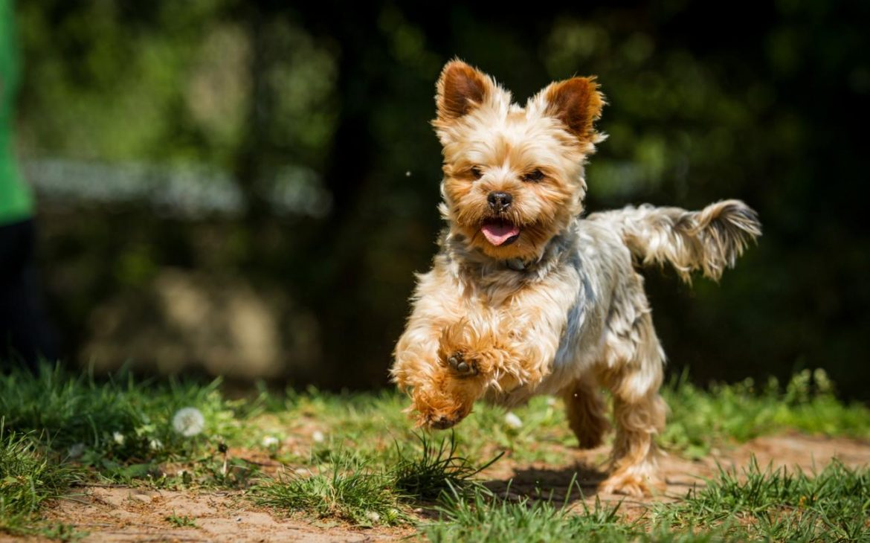 Comment se préparer à l'arrivée d'un chiot Yorkshire Terrier ? 2